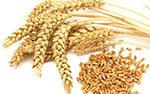 gandum sebagai makanan penurun kolesterol