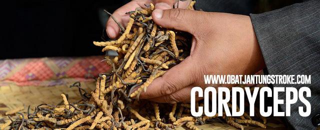 apa cordyceps itu